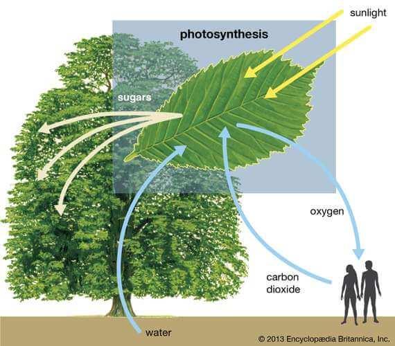 https://banglainfotube.com/wp-content/uploads/2020/06/trees-plants-carbon-dioxide-sunlight-sugars-water.jpg